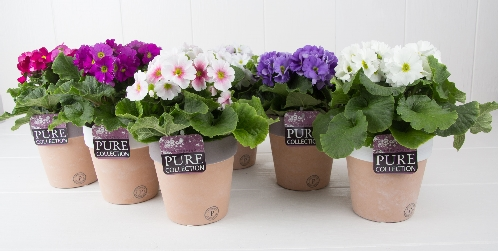 PC12 184 Primula p12 mix in Pure Terra Cotta II